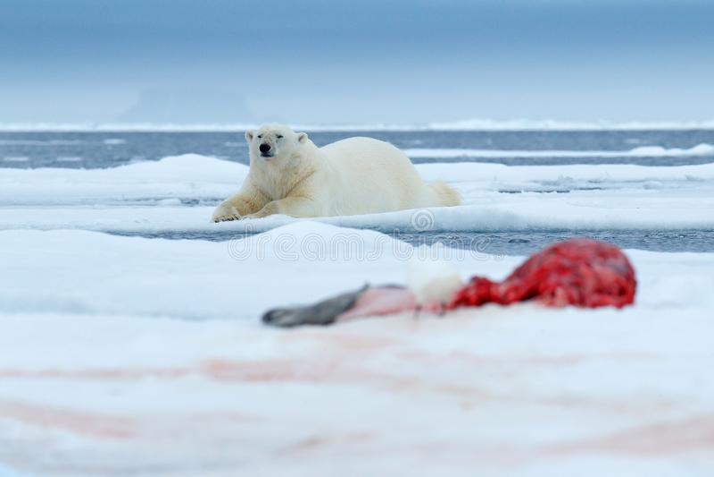 Isbjörn på isen Farlig isbjörn i snö med skyddsremsakadavret Djurlivhandlingplats från den arktiska naturen Blodig plats med royaltyfri foto