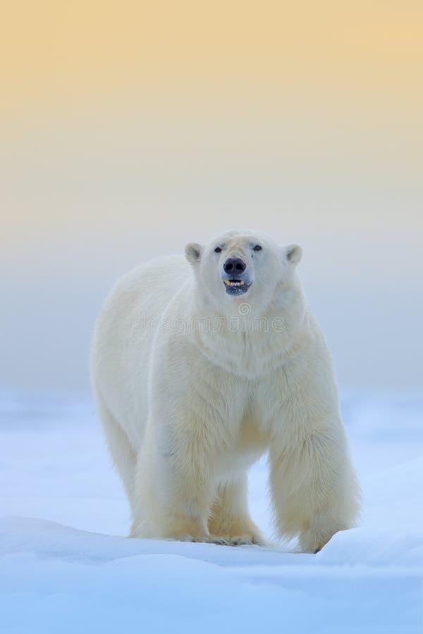 Isbjörn på isen och den insnöade Svalbarden, farligt seende fä från den arktiska naturen Djurlivplats från naturen royaltyfri bild
