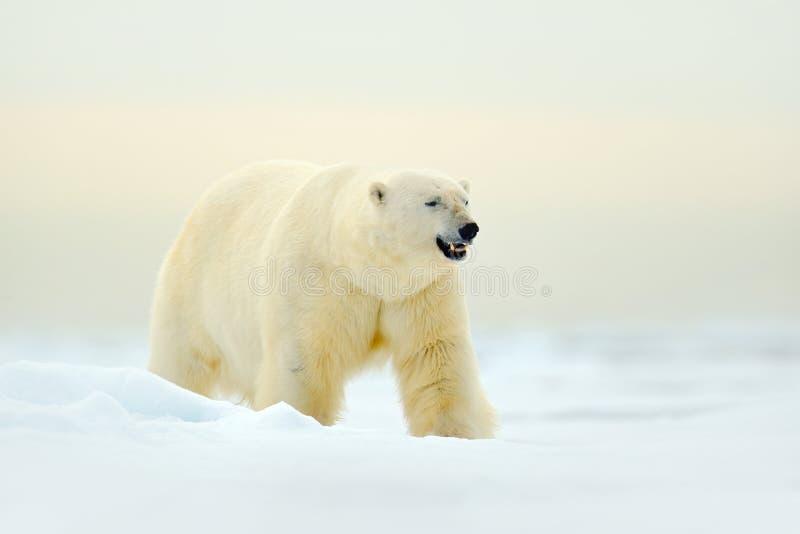 Isbjörn på kanten för drivais med snö en is i arktiska Svalbard Vitt djur i naturlivsmiljön, Norge Djurlivplats från n royaltyfri foto