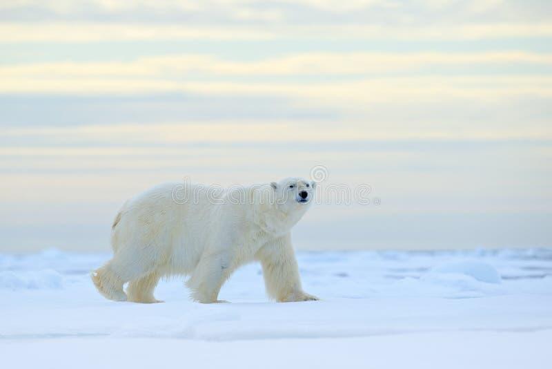 Isbjörn på kanten för drivais med snö ett vatten i arktiska Svalbard Vitt djur i naturlivsmiljön, Norge Djurlivplats från royaltyfri fotografi