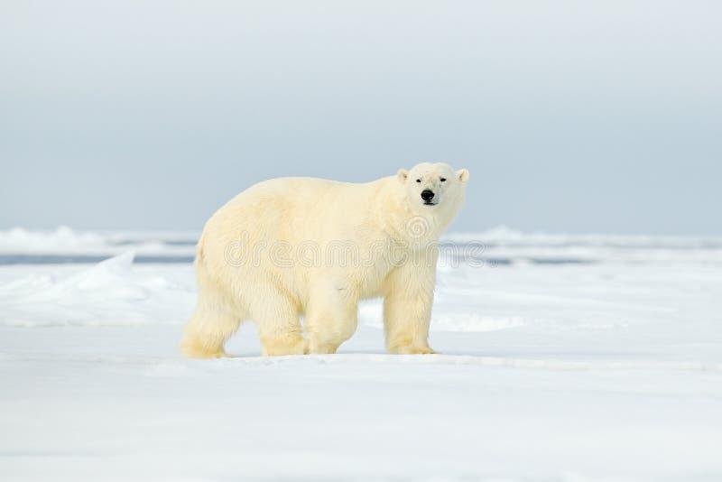 Isbjörn på kanten för drivais med snö ett vatten i arktiska Svalbard Vitt djur i naturlivsmiljön, Norge Djurlivplats från fotografering för bildbyråer