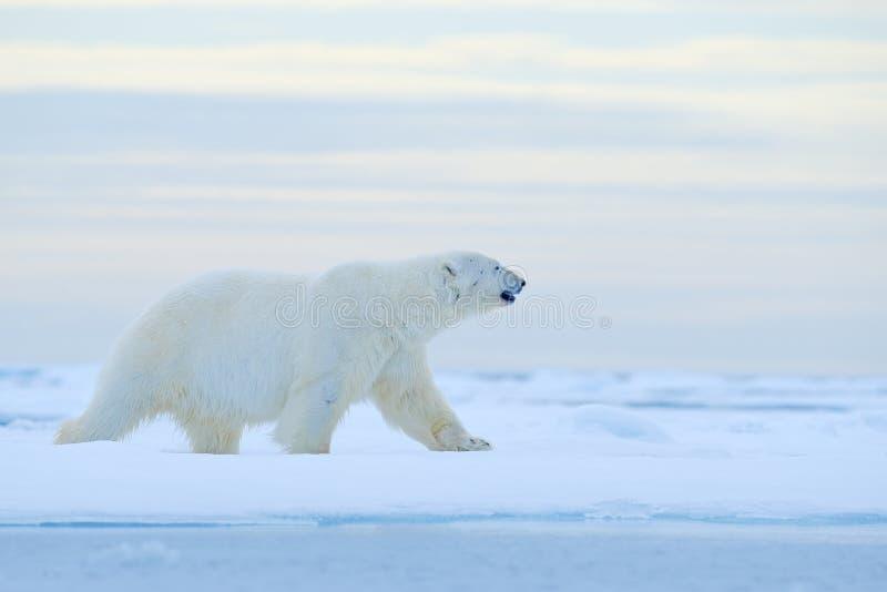 Isbjörn på kanten för drivais med snö och vatten i det Norge havet Vitt djur i naturlivsmiljön, Europa Djurlivplats från arkivbild