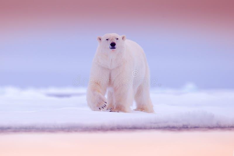 Isbjörn på kanten för drivais med snö och vatten i havet Vitt djur i naturlivsmiljön, norr Europa, Svalbard Djurliv scen arkivfoto