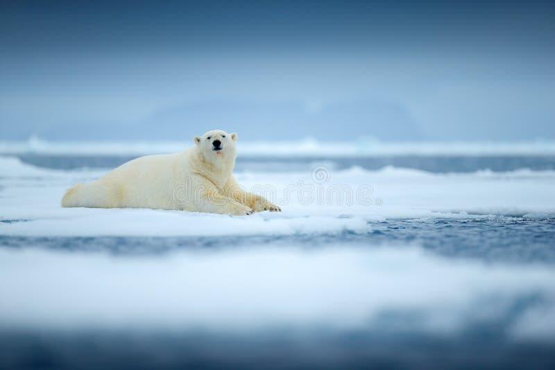 Isbjörn på kanten för drivais med snö och vatten i havet Vitt djur i naturlivsmiljön, norr Europa, Svalbard, Norge arkivbilder