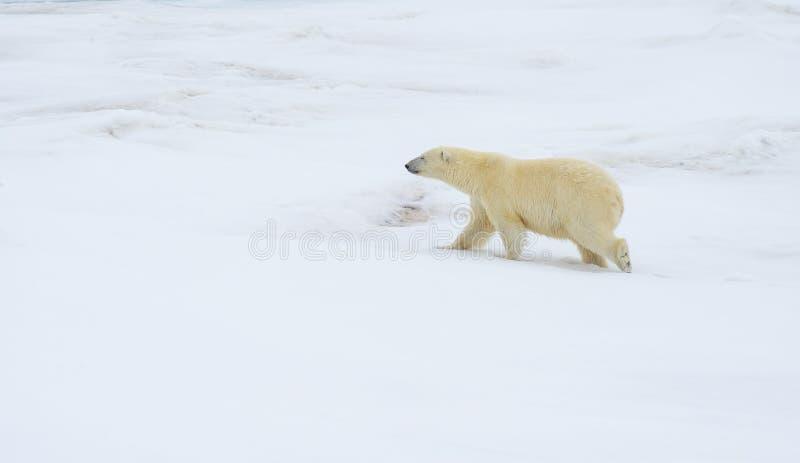 Isbjörn som går i en arktisk fotografering för bildbyråer