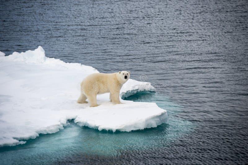 Isbjörn som går på havsis royaltyfria foton