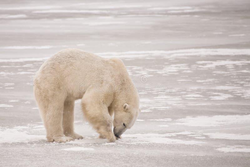 Isbjörn som gräver för mat på is fotografering för bildbyråer