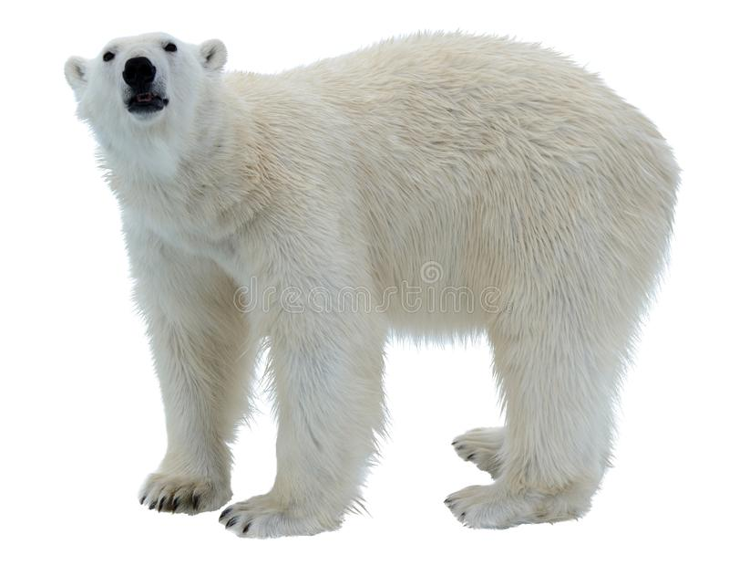 Isbjörn som isoleras på vit bakgrund royaltyfria foton