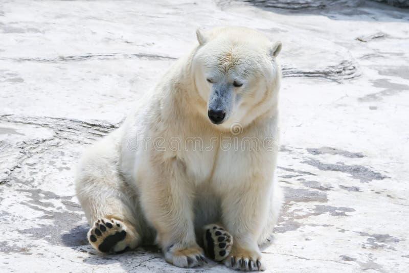 Isbjörn som sitter i snön arkivfoton