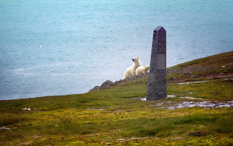 Isbjörnar på Franz Josef Land royaltyfria foton