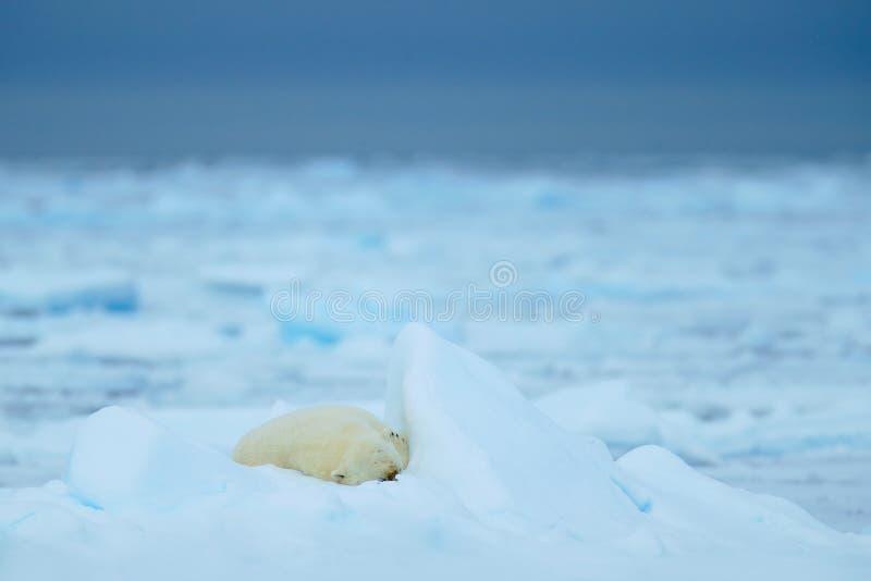 Isbjörnar som sover det stora gulliga djuret på drivais med snö och mörkerhimmel i arktiska Svalbard, i den kalla naturlivsmiljön royaltyfri bild