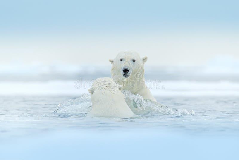 Isbjörnar som spelar i vattnet med is Vita djur slåss i naturlivsmiljön, Svalbard, Norge Björnar som spelar i snö, royaltyfri fotografi