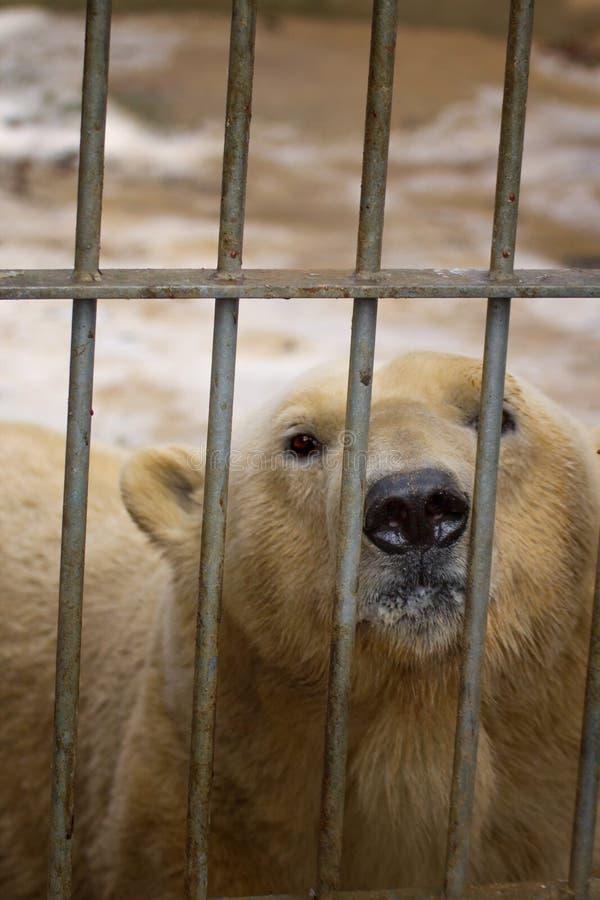 Isbjörnen bak stänger i zoo royaltyfri foto