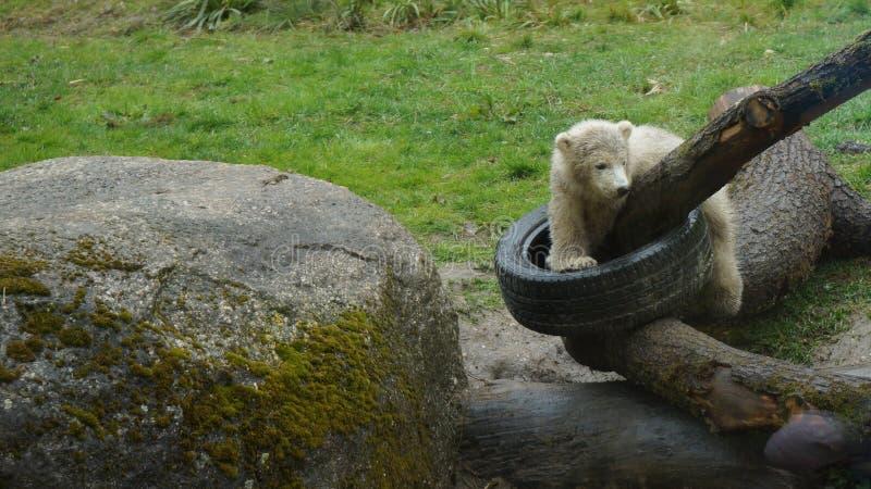 Isbjörnen behandla som ett barn plaing på journaler med bilgummihjulet royaltyfri foto