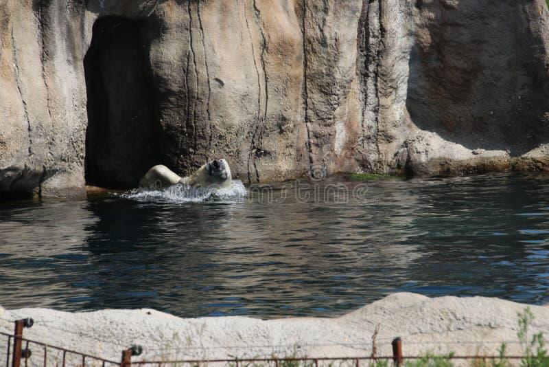 isbjörnen i Blijdorp i Zoo i Rotterdam i Nederländerna arkivbild