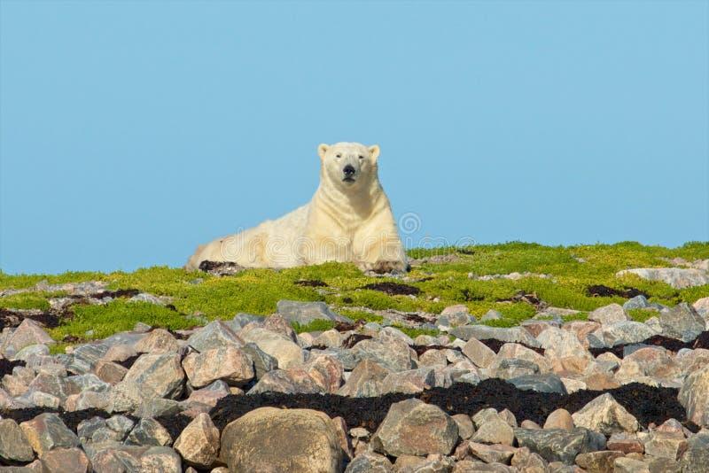 Isbjörnen på vaggar 1 arkivbild
