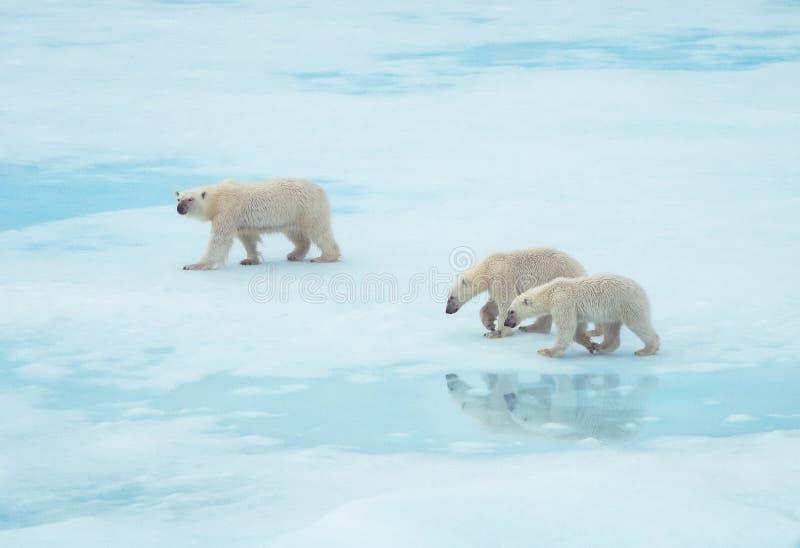 Isbjörnfamilj som går på is i arktisken arkivbild