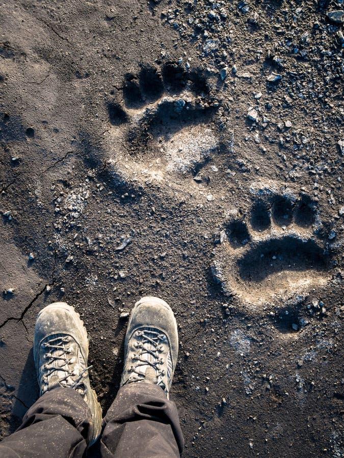 Isbjörnfotspår arkivbild