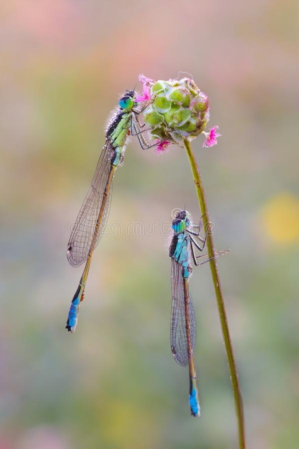 Couple of damselfly at dawn royalty free stock images