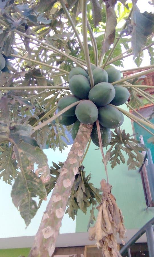 isiolo Kenya północny melonowa drzewo zdjęcie stock