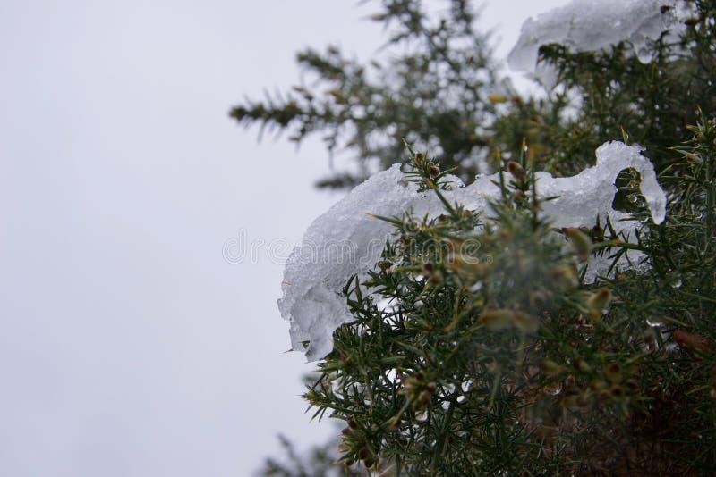 Iskall snö på en ärttörnebuske royaltyfri fotografi