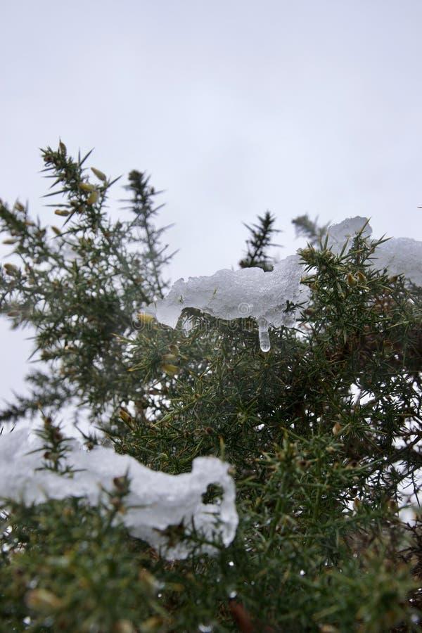 Iskall snö som smälter på en ärttörnebuske i en blidväder fotografering för bildbyråer