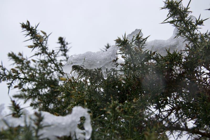 Iskall snö som smälter på en ärttörnebuske i en blidväder arkivfoton