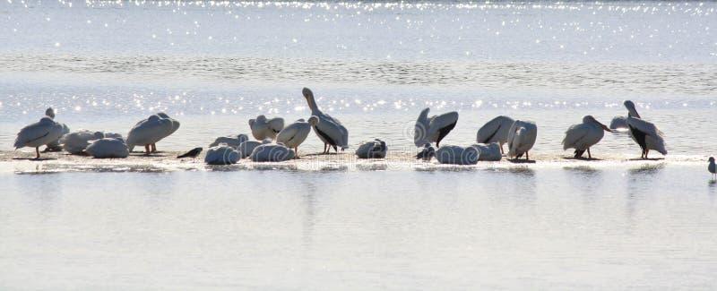 Iskrzaści Biali pelikany zdjęcie stock