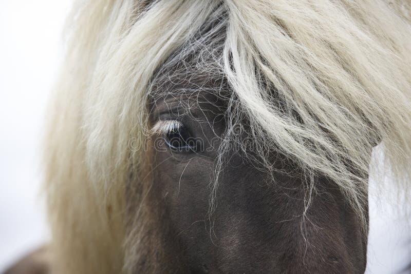 islândia Península de Vatnsnes Fim islandês do cavalo acima imagens de stock