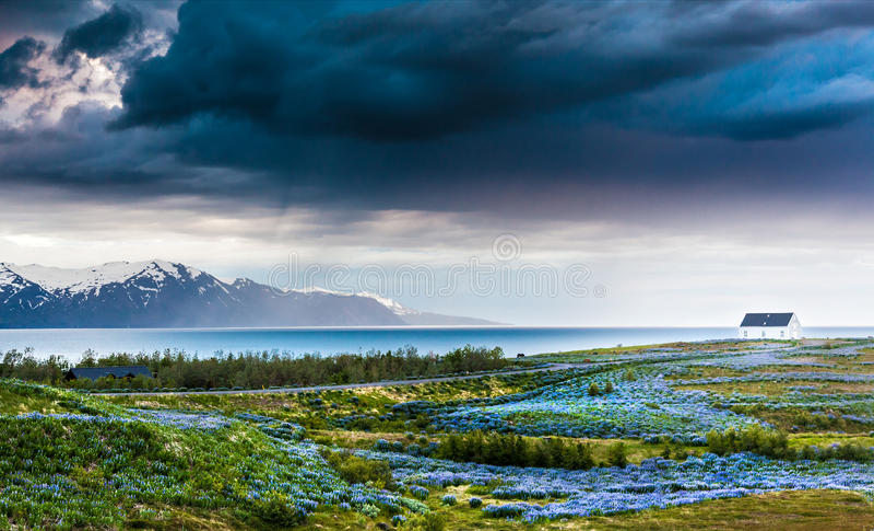 Islândia: prado dos tremoceiros sobre o litoral atlântico. foto de stock