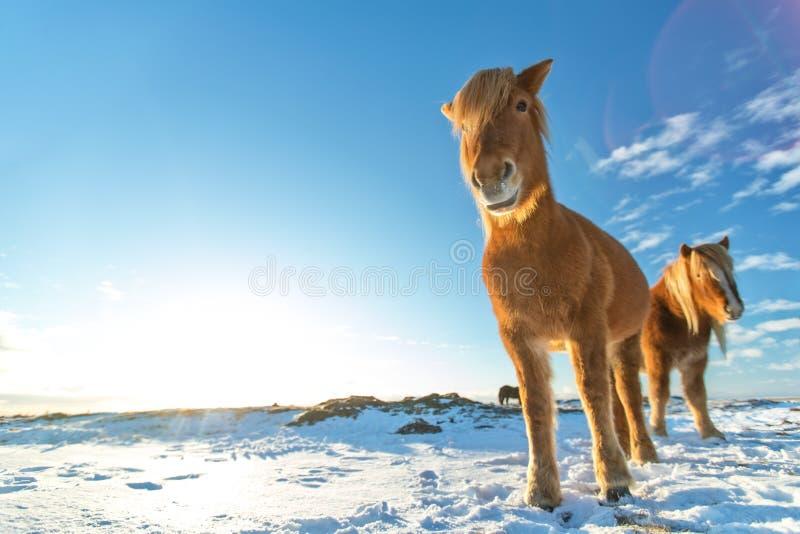 Isländische Herde von Pferden in der Winterlandschaft stockfotos