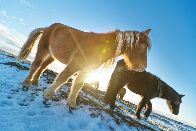 Isländische Herde von Pferden in der Winterlandschaft lizenzfreie stockfotos