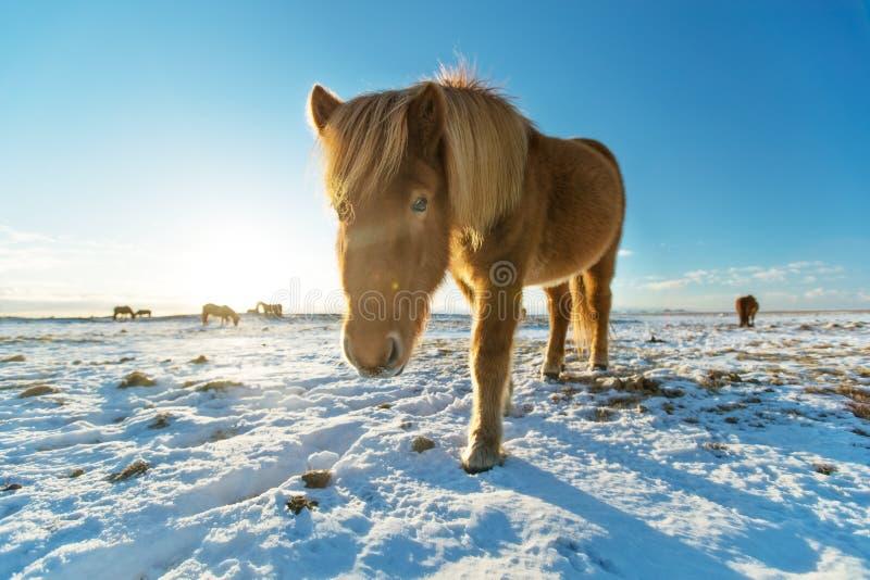 Isländische Herde von Pferden in der Winterlandschaft stockfoto