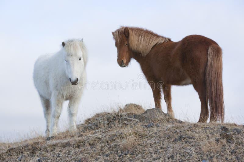 Isländische Pferde stockbilder