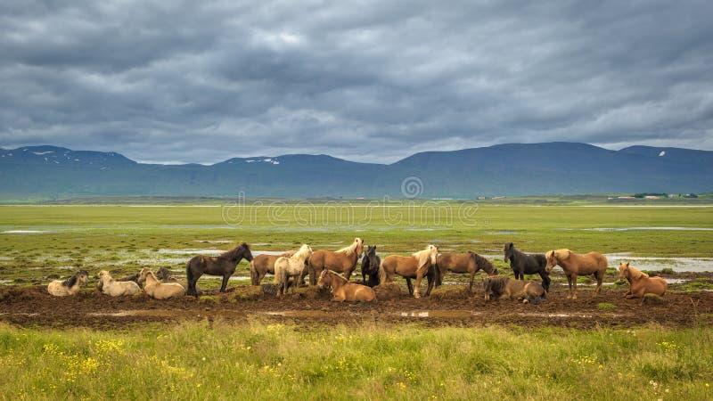 Isländische Pferde stockfotografie