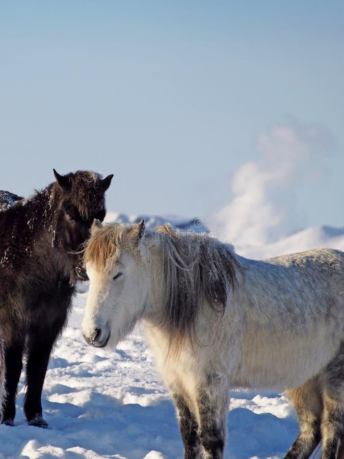Isländische Pferde stockfotos