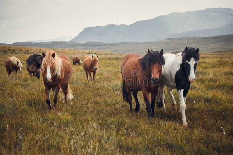 Isländische Pferde auf den Gebieten am Berg im Herbst Island lizenzfreie stockfotos