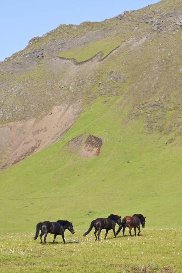 Isländische Pferde auf einem Flachs gefüllten Gebiet lizenzfreie stockfotos