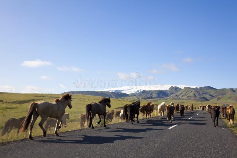 Isländische Pferde, die auf eine Straße laufen lizenzfreie stockfotografie
