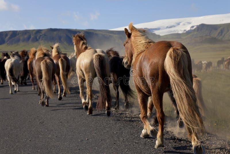 Isländische Pferde, die entlang eine Straße laufen lizenzfreie stockbilder