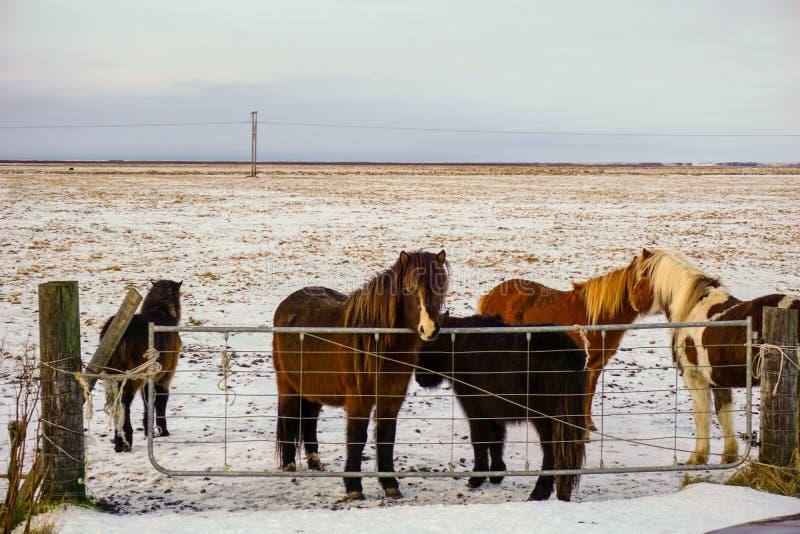 Isländische Pferde, die nahe bei dem Ring Road Waiting To Be gestrichenen Winter recht stehen stockfotografie
