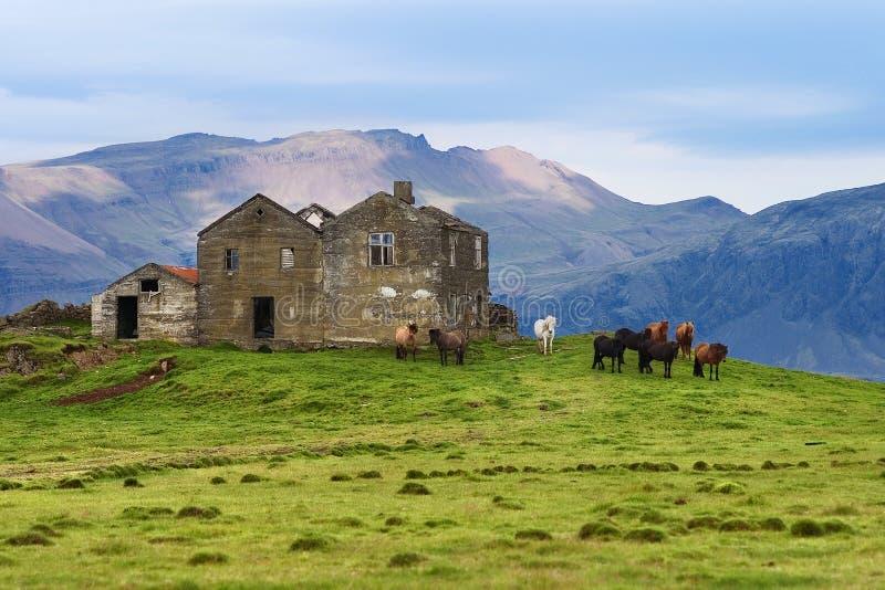 Isländische Pferde, die nahe von den alten Häusern stehen stockfoto
