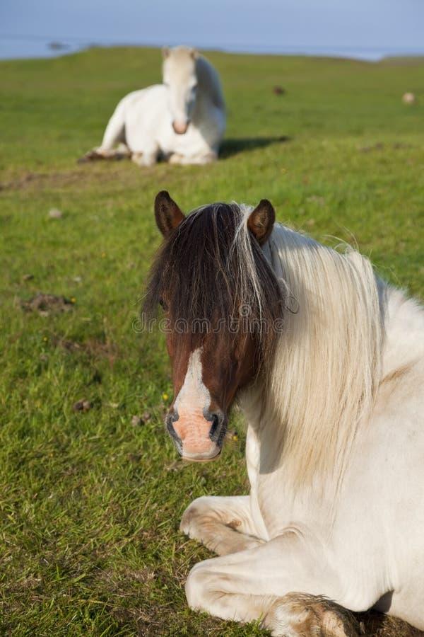Isländische Pferde im Ruhezustand auf einem Gebiet stockbilder