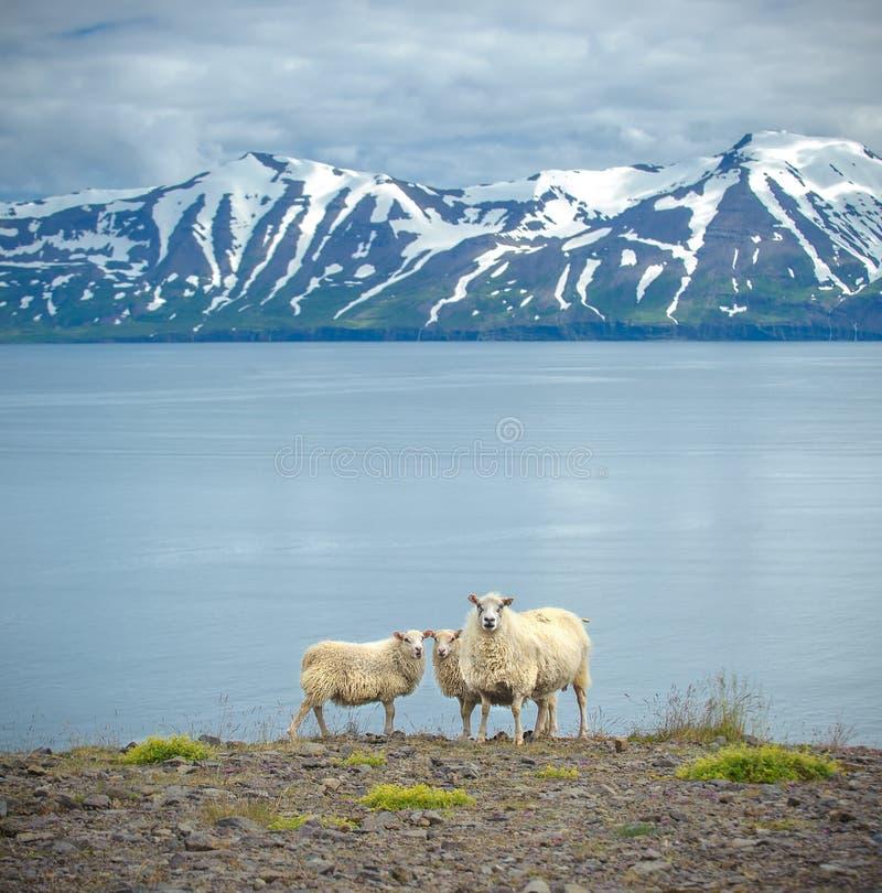 Isländische Schafe stockbild
