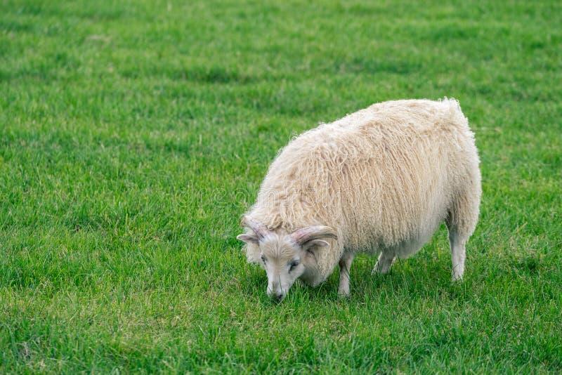 Isländische Schafe lizenzfreie stockbilder