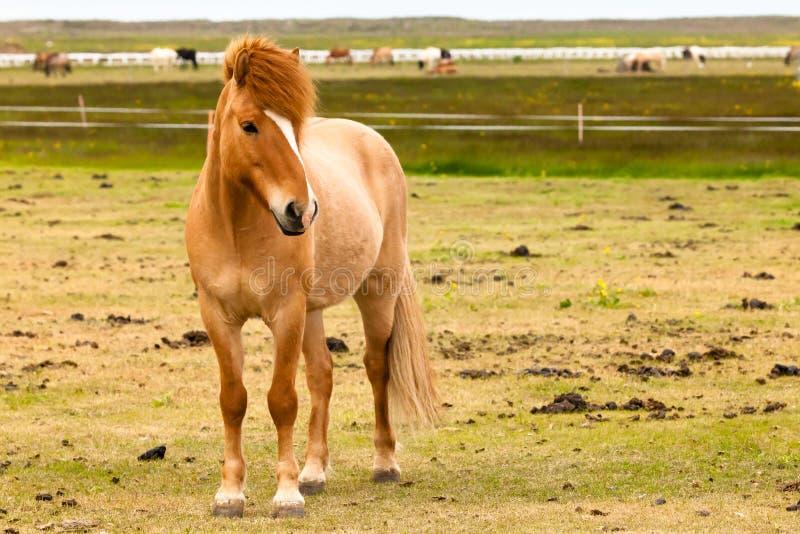 Isländischer Pferdeportrait lizenzfreies stockfoto