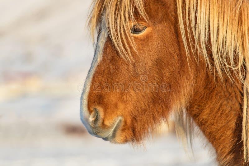 Isländischer Pferdeportrait in der Winterlandschaft stockfoto