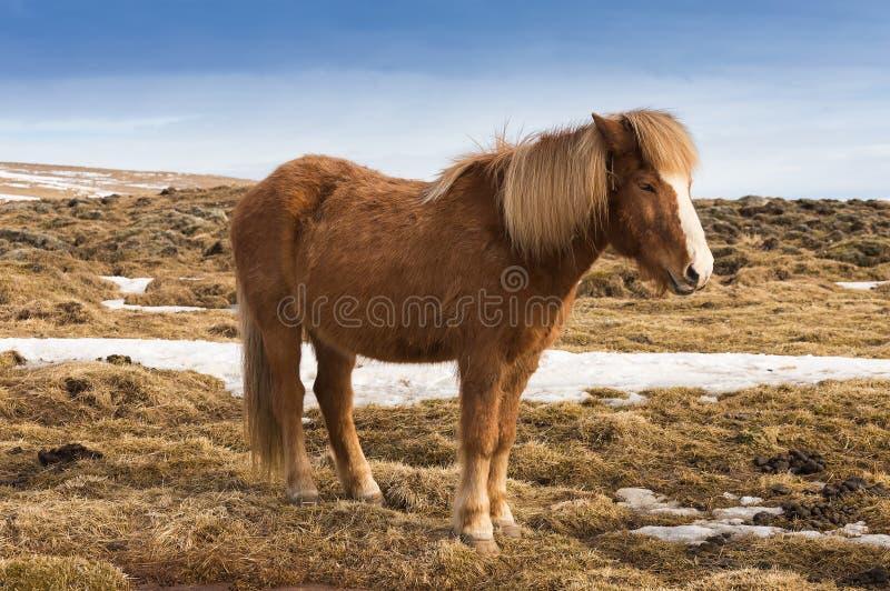 Isländisches Pferd auf trockenem Gras während der Wintersaison lizenzfreie stockbilder