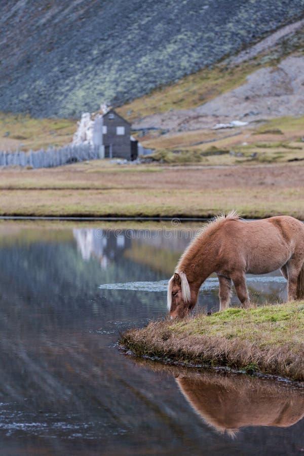 Isländisches Pferd, das wildes Island weiden lässt lizenzfreies stockbild
