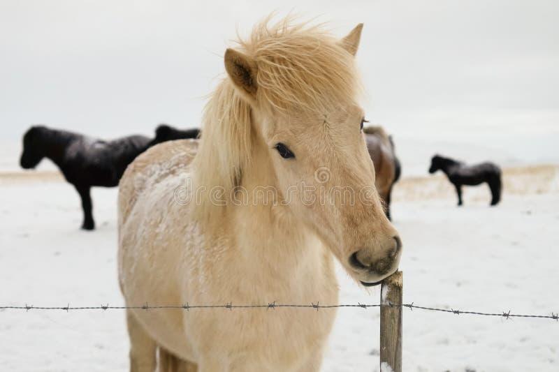 Isländisches Pferd im Winter lizenzfreie stockbilder